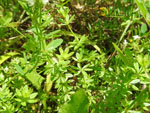 Marsh Bedstraw (Galium palustre), leaf