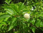 Button Bush (Cephalanthus occidentalis), tech