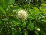 Button Bush (Cephalanthus occidentalis), flower