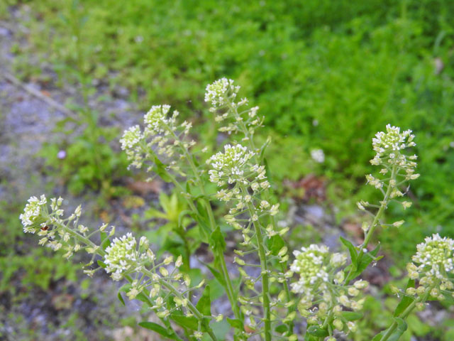 Roadside Pennycress (Thlaspi alliaceum)