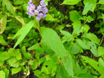 Heal-all (Prunella vulgaris), leaf
