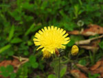Large Mouse-Ear Hawkweed
