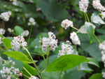 New Jersey Tea (Ceanothus americanus), tech