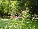 New York Ironweed (Vernonia noveboracensis), tech