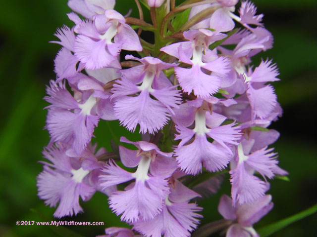 Large Purple Fringed Orchid (Platanthera grandifora)