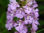 Large Purple Fringed Orchid (Platanthera grandifora), flower