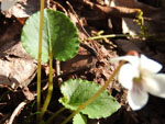 Northern White Violet (Viola macloskeyi), leaf