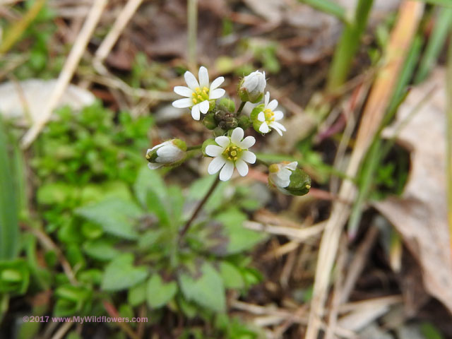 Whitlow Grass (Draba verna)