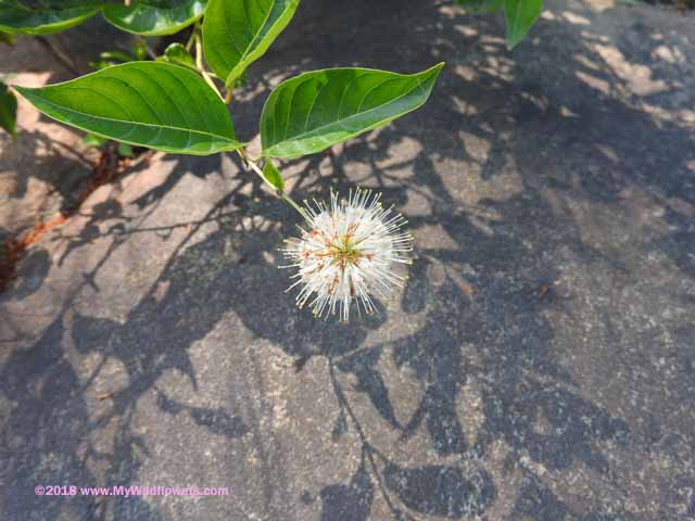 Button Bush (Cephalanthus occidentalis)