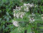 Sweet Joe-Pye Weed (Eupatorium purpureum), flower