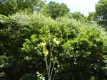 Tall Sunflower (Helianthus giganteus), tech