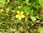 Yellow Wood-Sorrel (Oxalis stricta), flower