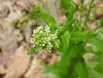 Roadside Pennycress (Thlaspi alliaceum), flower