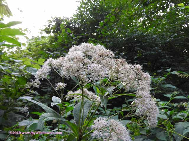 Sweet Joe-Pye Weed (Eupatorium purpureum)