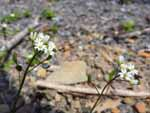 Carolina Whitlow-Grass (Draba reptans), flower