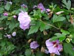 Rose of Sharon (Hibiscus syriacus), tech