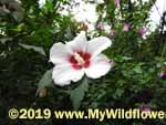 Rose of Sharon (Hibiscus syriacus), flower