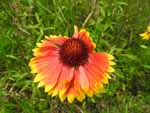 Indian Blanket (Gaillardia pulchella), flower