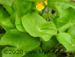 Marsh Marigold (Caltha palustris), leaf