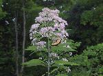 Hollow Joe-Pye Weed (Eupatorium fistulosum), flower