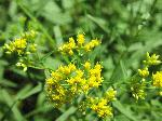 Lance-Leaved Goldenrod (Euthanmia graminfolia), flower