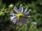 Purple-Stemmed Aster (Symphyotrichum puniceum), flower
