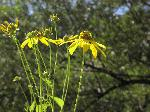 Tall Coneflower (Rudbeckia laciniata), flower