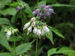 Virginia Waterleaf (Hydrophyllum virginianum), flower
