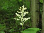 False Solomons Seal (Smilacina racemosa), flower