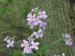Dame's Rocket (Hesperis matronalis), flower