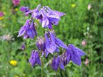 European Columbine (Aquilegia vulgaris), flower