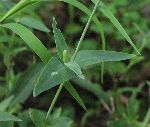 Bladder Campion (Silene vulgaris), leaf