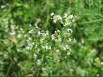 Marsh Bedstraw (Galium palustre), flower