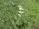 Bladder Campion (Silene vulgaris), tech