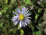 Calico Aster (Symphyotrichum lateriflorum), flower