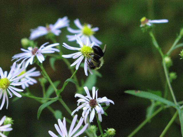Calico Aster (Symphyotrichum lateriflorum)