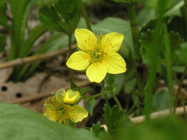 Barren Strawberry (Waldstenia fragarioides)