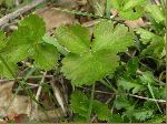 Barren Strawberry (Waldstenia fragarioides), leaf