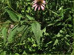 Eastern Purple Coneflower (Echinacea purpurea), leaf