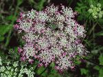 Queen Anne's Lace (Daucus carota), flower
