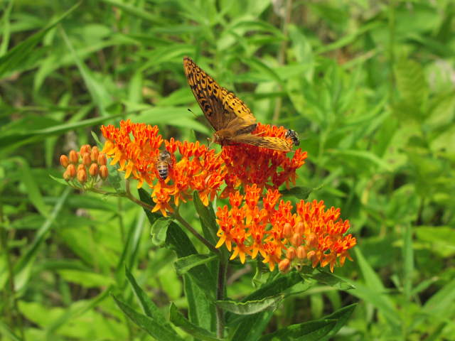 Butterfly Weed (Aslepias tuberosa)