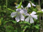 Bouncing Bet (Saponaria officinalis), flower