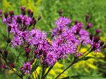 New York Ironweed (Vernonia noveboracensis), flower