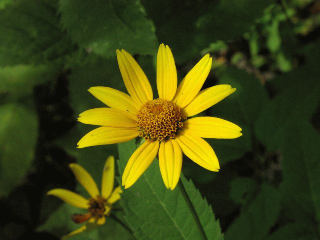 Pale-Leaved Sunflower (Helianthus strumosus)