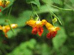 Spotted Touch-Me-Not (Impatiens capensis), flower