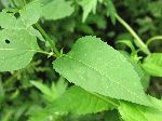 Thin-Leaved Sunflower (Helianthus decapetalus), leaf