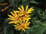 Thin-Leaved Sunflower (Helianthus decapetalus), flower