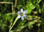 Blue-Eyed Grass (Sisyrinchium angustifolium), flower