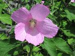 Crimson-Eyed Rose-Mallow