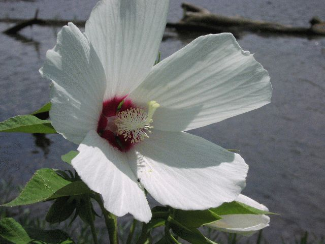 Crimson-Eyed Rose-Mallow (Hibiscus moscheutos)